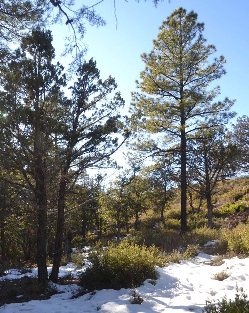 pine arizona